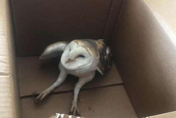 Tele takılıp yaralanan peçeli baykuş iyileştirilerek doğaya salındı