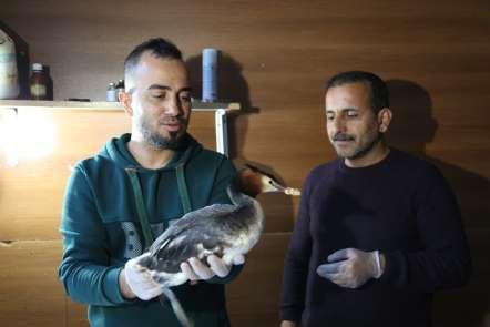Ayağında apse oluşan yaban ördeği tedavi altına alındı