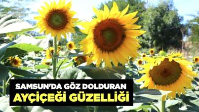 Samsun'da göz dolduran ayçiçeği güzelliği