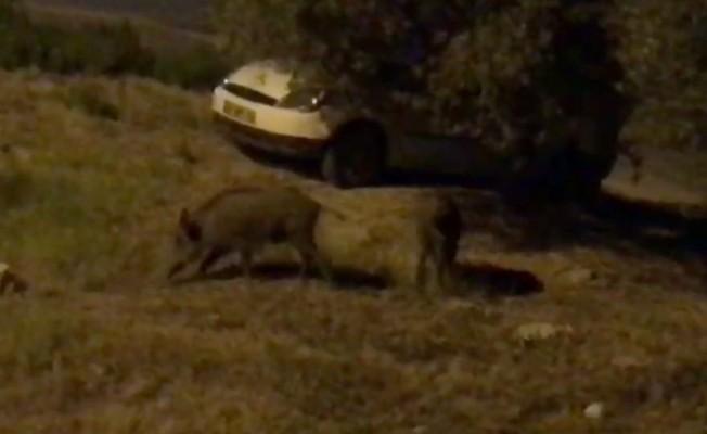 Kuşadası'nda domuzlar şehre indi
