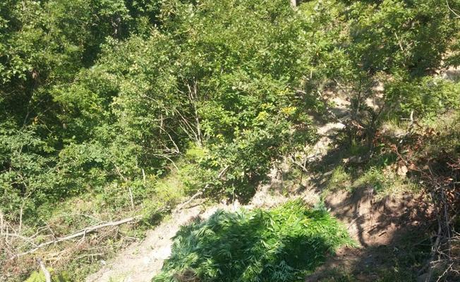 Samsun`da 1992 kök kenevir bitkisi ele geçirildi