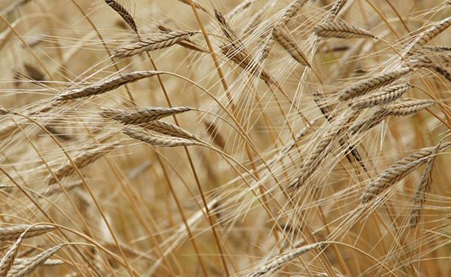 Samsun`da İlk hasat yapıldı