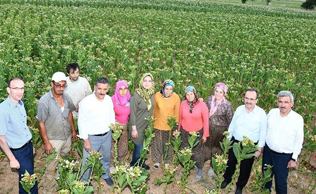 Vali Ve Başkan Çiftçilerle Tütün Kırdı