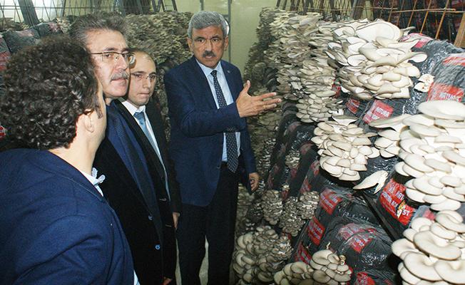 Vezirköprü`de İstiridye Mantarı Tesisi Açıldı!