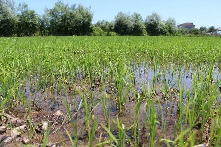 Çarşamba Ovası'nda çeltik ekim alanı yüzde 25 arttı