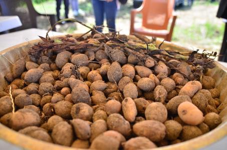 Karadeniz tarımına alternatif ürün: Salep