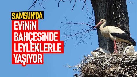 Samsun'da evinin bahçesinde leyleklerle yaşıyor
